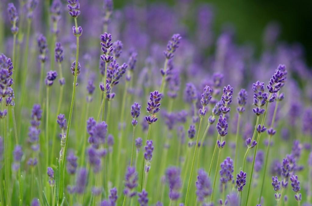 lavendar-in-blossom-1337588-1278x846